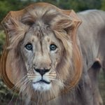 Born To Be Free, Not To Be Trophies #CecilTheLion #hunting http://t.co/RZiYhRM9CY http://t.co/uirpR7YXwH