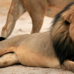 #CecilTheLion was killed for sport, now @piersmorgan & @rickygervais are calling for action: http://t.co/sSYApA62xF http://t.co/Ks56RVUoqs