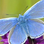 Have you seen one of these little beauties? @nationaltrust would like to know... @NTMatthewOates #ButterflyCount http://t.co/l5rQzqQQMy