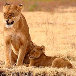 #Tanzania hosts the largest Lion population in Africa, protecting 40% of the continents remaining 35,000 #Lions http://t.co/P5pj0uzqRf