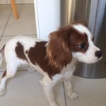 Ok Twitter. Do your thing. This little Spaniel followed me home from Mirdif Park this morning... Please RT http://t.co/didQK5bCYl