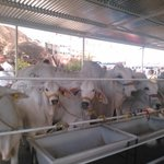 El sector ganadero tendrá un rol protagónico en la @ExpoBolivar #BolívarPotencia http://t.co/kFDVbQyUjh