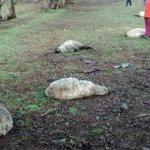 SAG confirma que perros asilvestrados mataron a 26 ovejas en predio de Padre Las Casas http://t.co/VQnNcuLNWL http://t.co/CJL7TGiwqO