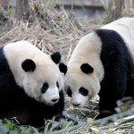 Osa panda finge estar embarazada para conseguir privilegios en el zoológico que vive http://t.co/gJi0HmH8G8 http://t.co/zO5rbVY4B0