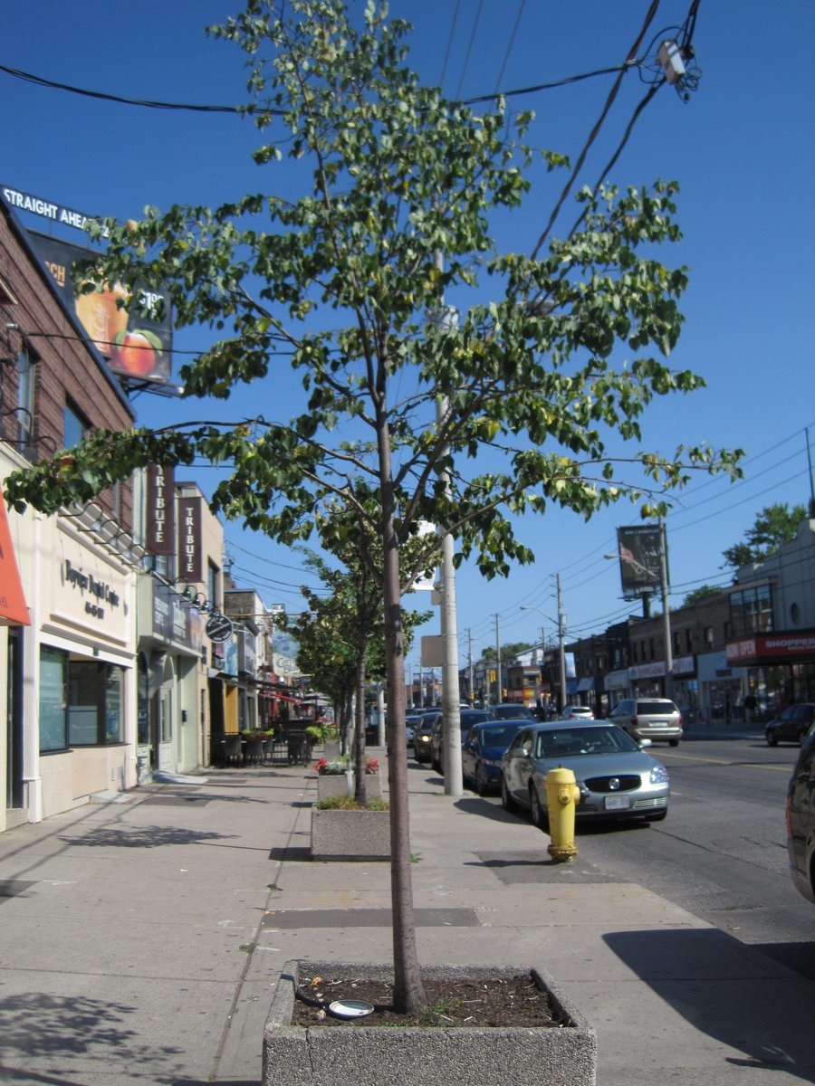 Heat wave putting our trees at risk - residents and businesses urged to water NOW! http://t.co/2uRYTrRImh http://t.co/HYIO9QhALw