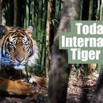 RT @Greenpeace: It's International Tiger Day! Let the world hear your roar. Protect their home. >> #TigerDay  http://t.co/zL9krDY712
