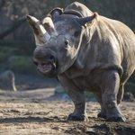 """Desastre! """"@CNNEE: Solo quedan cuatro rinocerontes blancos del norte en la Tierra http://t.co/vqKCKzXHSK http://t.co/h0AuAyt7tT"""""""