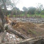 @javierbarrios17 Constructora de GERARDO HODGE, taló más de 20 árboles barrio Bonanza @CorporacionCVS no dio permiso http://t.co/IA5MZBJ9s1