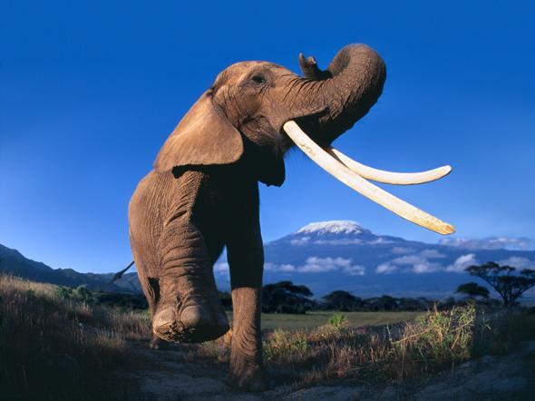 Must see:@NatGeoExplorers @BryanChristy @NatGeoChannel devised ingenious tracker to bag illegal Ivory traders #TCA15 http://t.co/ORvYg7k6qk