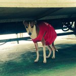 Is anyone in Fitzroy missing an Italian Greyhound? On the rooftop car park of 221 Kerr St - wearing a red t-shirt http://t.co/TBpzLuLLel