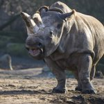 There are only four known northern white rhinos left on Earth. http://t.co/GWyj6FHl1G http://t.co/kUUJgwojfu http://t.co/70uRWekLyu