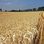 Comunas sembraron 5.900 hectáreas de cereales en Barinas http://t.co/aaooInCOO5 http://t.co/xk4KjEtcTh