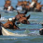 One day each year, these feral ponies hop into saltwater and swim. Today was the day http://t.co/lbzyomt2jL http://t.co/DBojPIrxq3