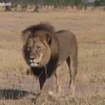 Obama administration offers to help investigate killing of #CecilTheLion: http://t.co/PML6OsB9C4 http://t.co/oqvFPDisxV