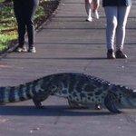 Jacaré vira atração em pista de caminhada em MS http://t.co/pBJ0X5KY06 #G1 http://t.co/n1wBoGniuD