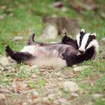 Party-animal badger found drunk on Polish beach http://t.co/obdnXXcvoN http://t.co/O73psHmb7W
