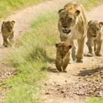 Father your cubs, fellas. How do we expect them to grow up to be good lions when we abandon them? #AllLionsMatter http://t.co/97set57m9k