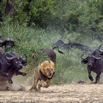 #AllLionsMatter RT @Metasota: If he did nothing wrong, why is he running? #lionslivesmatter #AllLionsMatter http://t.co/q7vGVjvQus