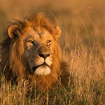 #CecilTheLion was part of an Oxford study to conserve wildlife. You can support our work here: http://t.co/QidPXQLnEg http://t.co/V901RL7lwg