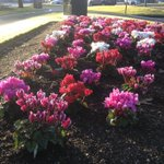 Another frosty morning in Bendigo this morning as these cyclamen show! http://t.co/XGoGF2Tb4Y