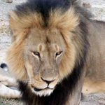 """Zimbabwe calls for the extradition of US hunter accused of illegally killing """"Cecil the lion"""". http://t.co/uDtL4kso40 http://t.co/CIncX1VO0S"""