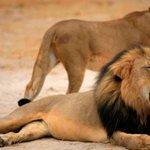 EEUU abre una investigación sobre la muerte de Cecil, el león más famoso del mundo http://t.co/H2MLZcvUj0 http://t.co/0EFRlEgCns