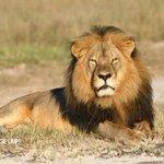 Símbolo de nobleza y amenaza para el ganado http://t.co/VChzjIV6Aa El frágil equilibrio del león africano @naranjo_p http://t.co/o7NS2hLe7c