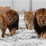"""""""Were looking for a dentist"""" #CecilTheLion #Cecil #WalterPalmer #lionhunting #lion #hunting http://t.co/jF2lcFgYCN"""