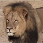 What lion? Zimbabwe asks amid global Cecil circus http://t.co/GqYIt52JIy http://t.co/Ttw8fxFusU