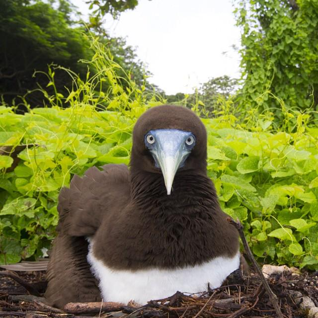 """May I help you?"" - An unimpressed Brown Booby spotted at Christmas Island (Photo via IG/chrisbrayphotography) http://t.co/Mj17rOFZQo"