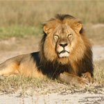 Zimbabwe seeks extradition of American over death of Cecil the lion http://t.co/hkD4LifHNm http://t.co/JnaB6rFJwy