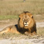 Zimbabwe says it will seek extradition of American dentist who killed lion http://t.co/TyZOvqtSa7 http://t.co/vaTHZy4xa2