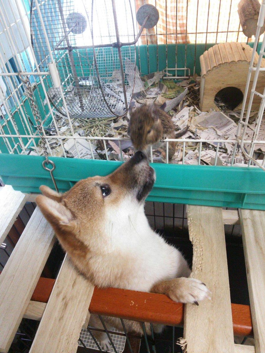 デグーと触れ合う犬 http://t.co/YRoJsdVpCN