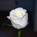 RT @Meurrsault: #naturelover #lovenature #nature #Molde #Image #flowersofinstagram #flowerstagram #Flower #rose http://t.co/rpsZljMF4i