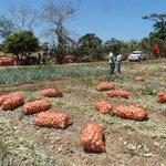 #EconomiaPA Productores de cebolla solicitan a intermediarios ajustar márgenes de ganancias. http://t.co/rkchnQn3Xb http://t.co/v6nQVbJNSN