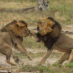 Cecil the lions brother Jericho shot dead by poachers in Zimbabwean park http://t.co/oQzW3QWrNf http://t.co/l9b2hFQ7a6