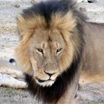 Zimbabwe: American lion killers extradition being sought http://t.co/HoOHv5yI8c http://t.co/iybYpK0sV3