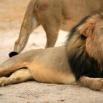 """Scientist who studied #CecilTheLion: """"His luck ran out this time."""" http://t.co/iI928PcgVp http://t.co/ivqHHRYCRU"""