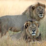 Cecil & Jericho before humans murdered them for sport & amusement. #EndOfTimes http://t.co/DqjZkXmlwP