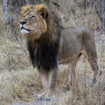 UPDATE: Now Cecil The Lion's Brother Has Also Been Killed By A Hunter http://t.co/YvjLST9Db2 http://t.co/VCujPQg7M1