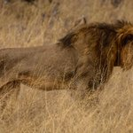 Now Cecil The Lion's Brother Has Also Been Killed By A Hunter http://t.co/id9uFzTc66 http://t.co/ENF5qTNI9A