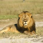 #BREAKING: Cecil the lions brother killed, conservation group says http://t.co/78XGLo1WnT http://t.co/D3lknJhwBK