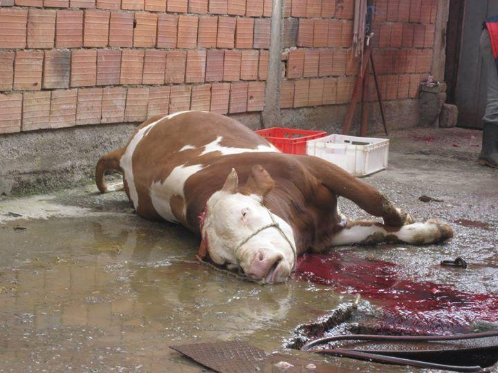 A lion is shot; outrage! This bull is a victim of halal slaughter. Is anyone outraged at this? Ban ritual slaughter! http://t.co/ncRaH0REkR