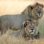 Conservationists fear Jericho, brother of Cecil, has been shot dead in Zimbabwe http://t.co/Q5JrRqHsiZ http://t.co/B8eDgPgMMh