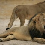 Cecil the lions brother, Jericho, is also illegally killed in Zimbabwe, official says http://t.co/6gDpTz1ePM http://t.co/noQ7OjTflz
