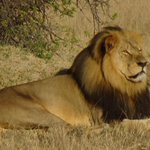 #BREAKING: Cecil the Lions brother, Jericho, is illegally gunned down by hunter in Zimbabwe http://t.co/K1hlUUjAOV http://t.co/iNm0EGaG2c