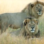 JUST IN: Cecil the lions brother Jericho has been killed by poachers http://t.co/WiicPfDspV http://t.co/oJcKGjFERL