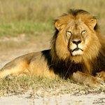 È stato ucciso dai bracconieri il leone #Jericho, aveva preso sotto la sua protezione i cuccioli di #Cecil. http://t.co/gd6gegvDf8