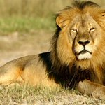 Cecil the lion's brother Jericho killed by poachers – report http://t.co/BEPKagvdmd http://t.co/lar9kPJ5qc