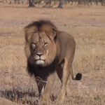 Jericho, brother of Zimbabwes lion Cecil, appears alive and well: researcher http://t.co/3v2RuhsVty http://t.co/Tu0H4fWcgK